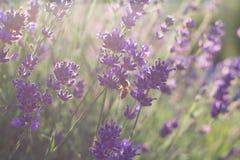 Abeja de la miel que se sienta en la flor de la lavanda Foto de archivo libre de regalías