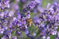 Abeja de la miel que se sienta en las flores púrpuras de la lavanda Foto de archivo