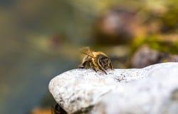 Abeja de la miel que se sienta en piedra Imagen de archivo