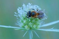 Abeja de la miel que se sienta en un cardo joven en la oscuridad Fotografía de archivo