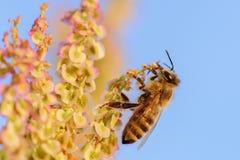 Abeja de la miel que se sienta en una flor en la puesta del sol Foto de archivo