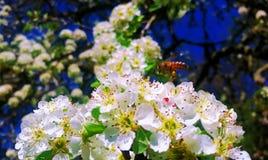 Abeja de la miel que toma el néctar alrededor de Siena Fotos de archivo libres de regalías