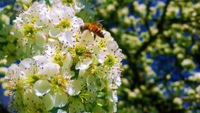 Abeja de la miel que toma el néctar alrededor de Siena Fotografía de archivo