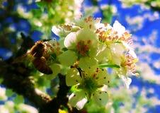 Abeja de la miel que toma el néctar alrededor de Siena Fotos de archivo