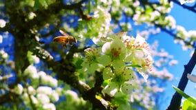 Abeja de la miel que toma el néctar alrededor de Siena Imágenes de archivo libres de regalías