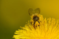 Abeja de la miel que trabaja en el diente de león Imagen de archivo