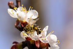 Abeja de la miel que trabaja en la flor del albaricoque Imagen de archivo