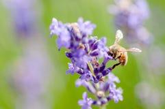 Abeja de la miel que visita las flores de la lavanda y que recoge la polinización ascendente cercana del polen Imagenes de archivo