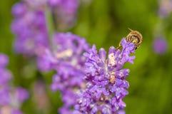 Abeja de la miel que visita las flores de la lavanda y que recoge la polinización ascendente cercana del polen Fotografía de archivo libre de regalías