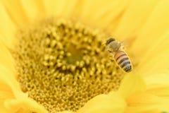Abeja de la miel que vuela al girasol Fotografía de archivo
