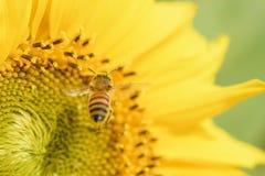 Abeja de la miel que vuela al girasol Fotos de archivo