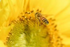 Abeja de la miel que vuela al girasol Imágenes de archivo libres de regalías