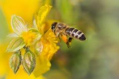 Abeja de la miel que vuela a la floración de la flor de la naturaleza y que recoge el néctar Fotografía de archivo