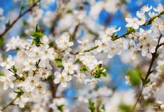 Abeja de la miel que vuela a las flores florecientes del blanco Foto de archivo libre de regalías