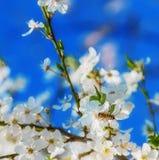 Abeja de la miel que vuela a las flores florecientes del blanco Imágenes de archivo libres de regalías