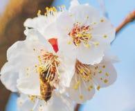 Abeja de la miel que vuela a las flores florecientes del blanco Imagenes de archivo