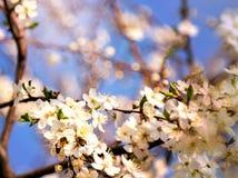 Abeja de la miel que vuela a las flores florecientes del blanco Foto de archivo