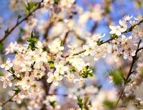 Abeja de la miel que vuela a las flores florecientes del blanco Imagen de archivo