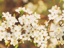 Abeja de la miel que vuela a las flores florecientes del blanco Fotografía de archivo