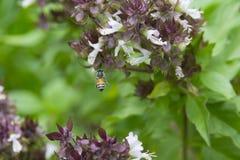 Abeja de la miel que vuela para pulular Imágenes de archivo libres de regalías