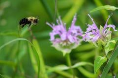 Abeja de la miel que vuela a una flor púrpura Imagen de archivo libre de regalías