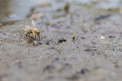 Abeja de la miel - recogida del agua Fotografía de archivo