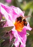 Abeja de la miel sobre el detalle de la flor Fotografía de archivo