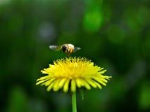 Abeja de la miel y flor del diente de león en primavera Fotografía de archivo