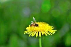 Abeja de la miel y flor del diente de león en primavera Fotos de archivo