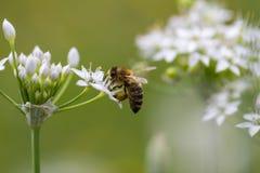 Abeja de la miel y flores blancas en el jardín Fotos de archivo libres de regalías