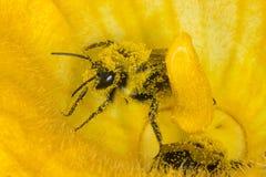 Abeja de la miel y macro colorida de la flor Imagen de archivo libre de regalías