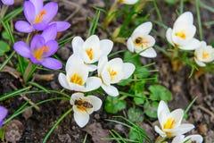 Abeja de la miel y primeras flores del azafrán de la primavera Imagenes de archivo