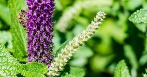 Abeja de la miel y una flor Imagenes de archivo