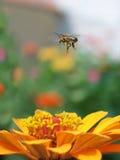 Abeja de la mosca Imagenes de archivo