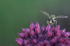 Abeja de la mosca de la flor que descansa sobre sedum foto de archivo