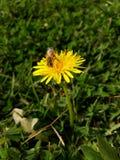 Abeja de la primavera Fotografía de archivo libre de regalías