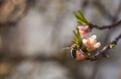 Abeja de la primavera en árbol Imagen de archivo libre de regalías