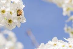 Abeja de la primavera que cosecha el polen de los brotes florecientes del árbol Fotos de archivo
