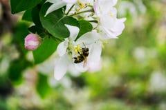 Abeja de la primavera que se sienta en una rama con las flores Imagen de archivo