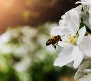 Abeja de la primavera que se sienta en una rama con las flores Fotos de archivo