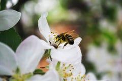 Abeja de la primavera que se sienta en una rama con las flores Foto de archivo libre de regalías