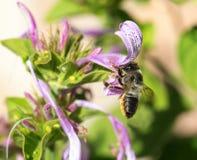 Abeja de la vista lateral y flor púrpura Fotos de archivo libres de regalías