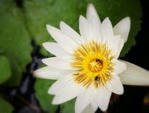 Abeja de Lotus Fotografía de archivo libre de regalías