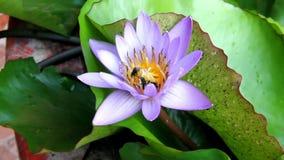 Abeja de Meliponini o de Trigona que chupa el néctar de púrpura del polen del loto almacen de metraje de vídeo