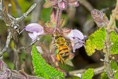 Abeja de Melittid del vuelo que recoge el polen Fotos de archivo libres de regalías