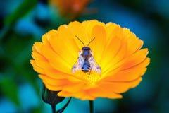 Abeja de Mimicric en un flor del calendula Fotos de archivo libres de regalías