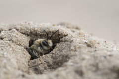 Abeja de mina - barbilabris de Andrena Foto de archivo