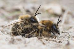 Abeja de mina - barbilabris de Andrena Fotografía de archivo