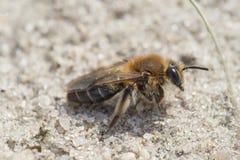 Abeja de mina - barbilabris de Andrena Imágenes de archivo libres de regalías