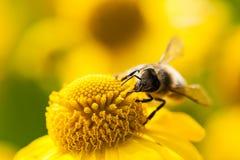 Abeja de mina en una flor amarilla Imágenes de archivo libres de regalías